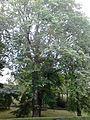 Ulmus glabra. Learmonth Gardens, Edinburgh(2).jpg