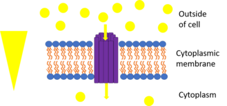 Membrane transport protein - The picture represents uniport. The yellow triangle shows the concentration gradient for the yellow circles and the purple rods are the transport protein bundle. Since they move down their concentration gradient through a transport protein, they can release energy as a result of chemiosmosis. One example is GLUT1 which moves glucose down its concentration gradient into the cell.