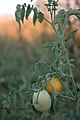 Unripe tomatoes at sunset.jpg