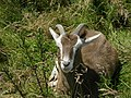 Unusual goat near Hollingrove Farm - geograph.org.uk - 497196.jpg