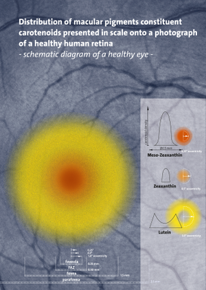 Meso-zeaxanthin - Distribution of macular pigments constituent carotenoids presented in scale onto a photograph of a healthy human retina