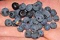 Vaccinium sp. (blueberries) (near Larchwood, Ontario, Canada) (46843437435).jpg