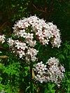 Valeriana officinalis jfg1