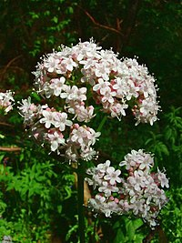 Valeriana officinalis jfg1