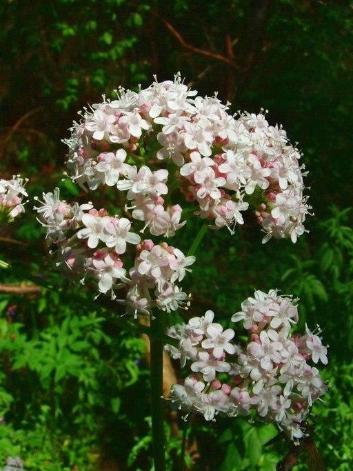 fleurs de valeriane officinale