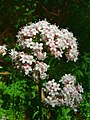 Valeriana officinalis jfg1.jpg