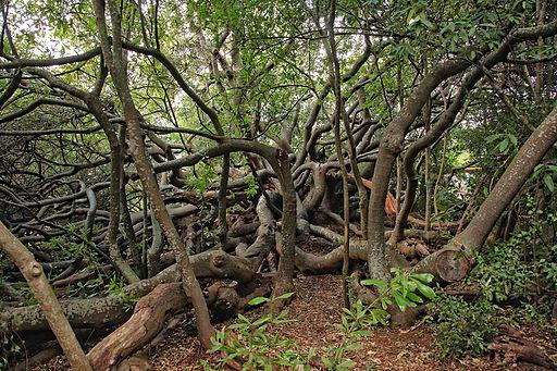 Van Riebeeck's Hedge, Kirstenbosch Botanical Garden, Cape Town-006