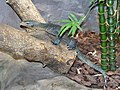 Varanidae Varanus caerulivirens 1.jpg
