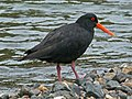 Variable Oystercatcher RWD2.jpg