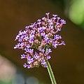 Verbena bonariensis in Jardin des 5 sens (1).jpg