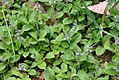 Veronica arvensis (24997419485).jpg