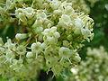 Viburnum odoratissimum var awabuki7.jpg