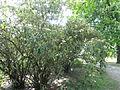 Viburnum rhytidophyllum, Odessa.jpg