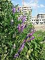 Vicia glabrescens sl20.jpg