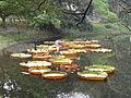 Victoria amazonica - Indian Botanic Garden - Howrah 2012-01-29 1698.JPG