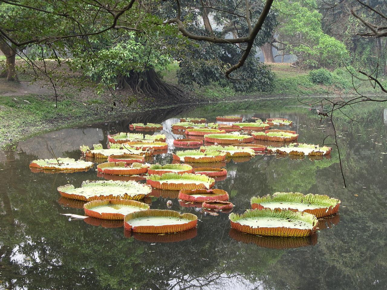 Filevictoria amazonica indian botanic garden howrah for Indian garden