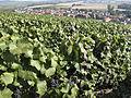 Vigne Pinot noir (Village de Cumières)) Cl.J.Weber01 (23595235311).jpg