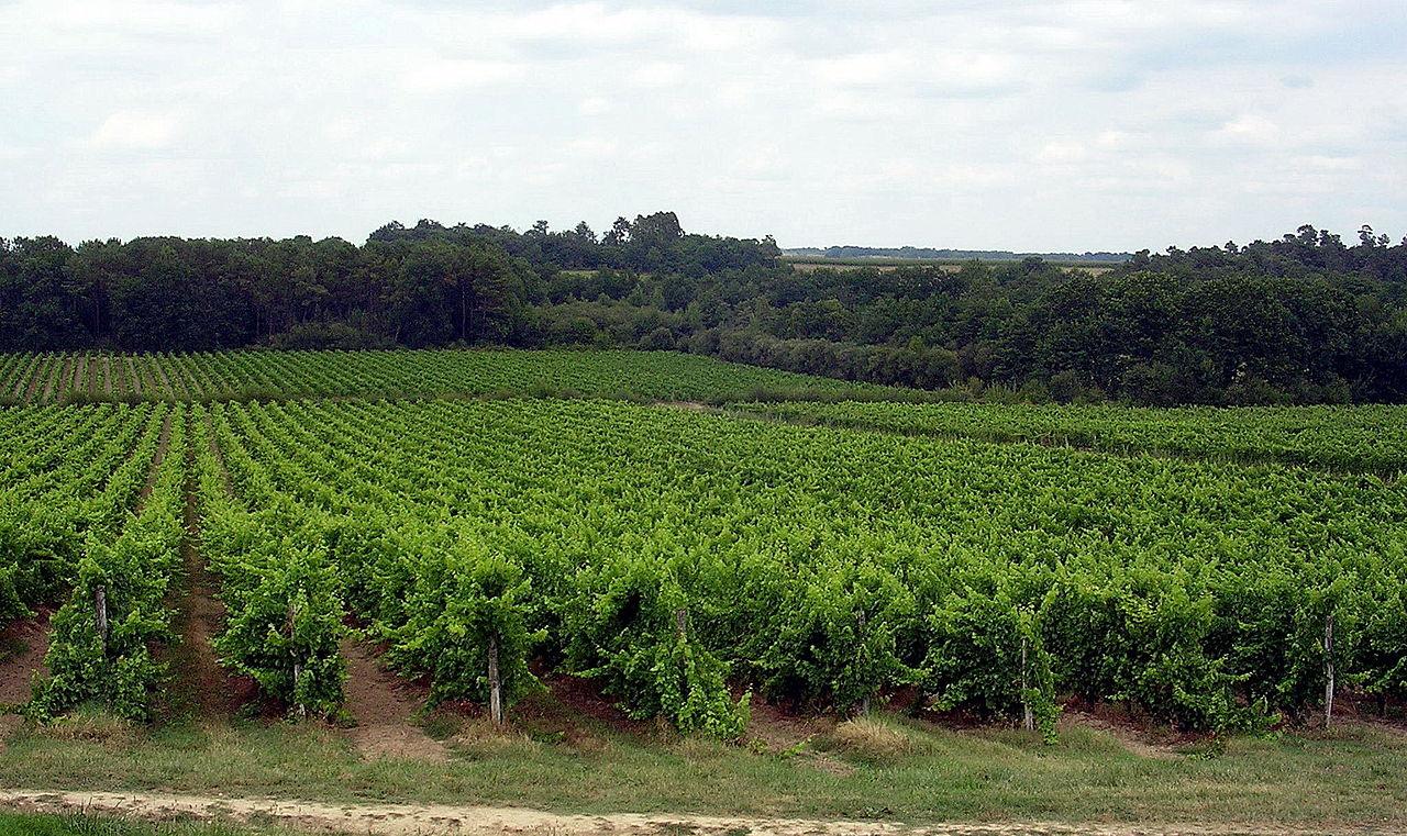 Vignoble d'Armagnac, entre Landes et Gers, France