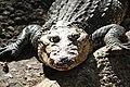 Villahermosa, Parque-Museo La Venta zoo, crocodile (20498570928).jpg