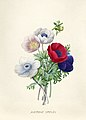 Vintage Flower illustration by Pierre-Joseph Redouté, digitally enhanced by rawpixel 67.jpg