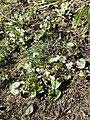 Viola alba subsp. scotophylla s. str. sl7.jpg