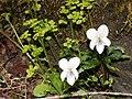 Viola eizanensis and Chrysosplenium japonicum.jpg