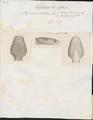 Vipera arietans - kop - 1700-1880 - Print - Iconographia Zoologica - Special Collections University of Amsterdam - UBA01 IZ11700111.tif