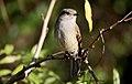 Viudita (Colorhamphus parvirostris)-4056-1500px-Ignacio-Azocar.jpg
