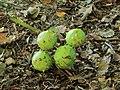 Vruchten van kastanje (Aesculus).JPG