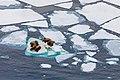 Walruses on ice floes.jpg