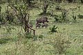 Warthog and cubs (7513306246).jpg