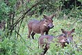 Warthogs in Hluhluwe–Imfolozi Park.jpg