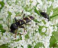 Wasp Beetle. Clytus arietis. Cerambycidae (2) (16277264611).jpg