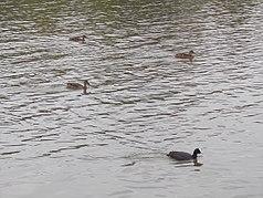 Water fowls, Ráckeve-Soroksár Danube, 2017 Soroksár.jpg