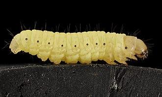 Waxworm - G. mellonella larva
