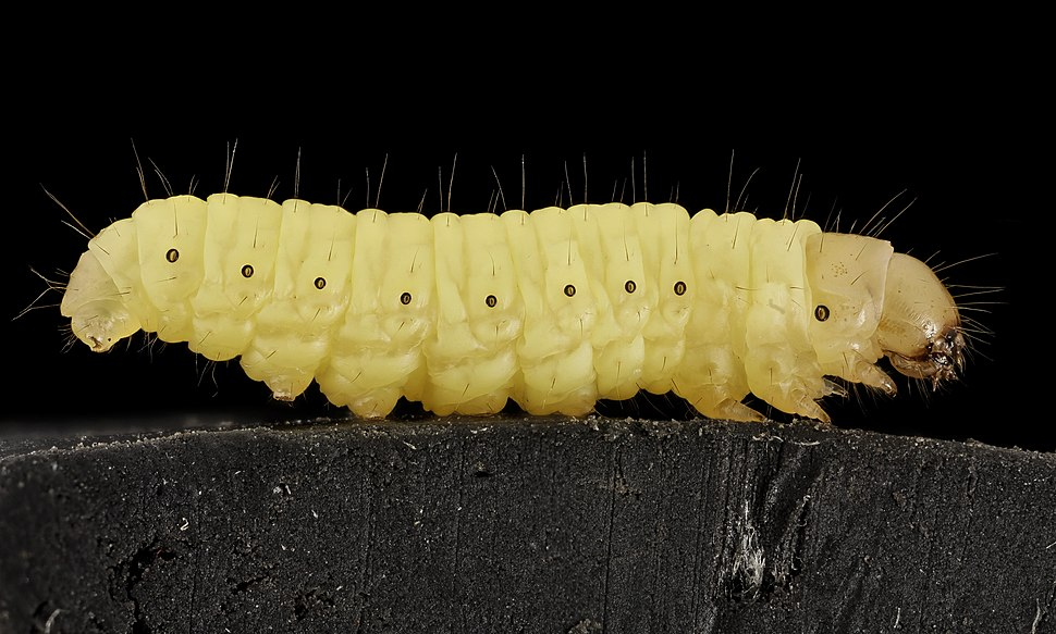 Wax worm, U, Maryland, side 2015-07-13-13.01.17 ZS PMax