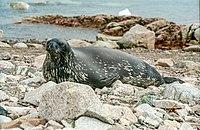 Weddell Seal (js)1