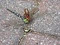 Wespe und Libelle.jpg