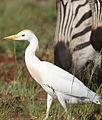 Westerm cattle egret, Bubulcus ibis at Rietvlei Nature Reserve, Gauteng, South Africa (22779403586).jpg