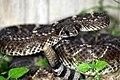Western Diamondback Rattlesnake (Cortalus atrox) (487579659).jpg