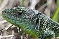 Western Green Lizard - Lacerta bilineata (16985545076).jpg