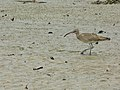 Whimbrel (Numenius phaeopus) (8122028854).jpg