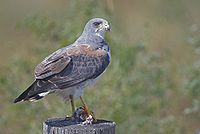 White-tailed Hawk.jpg