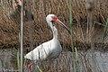 White Ibis Anahuac NWR High Island TX 2018-03-26 12-48-57 (41038738111).jpg