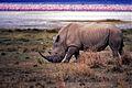 White Rhino (Ceratotherium simum) (8291908560).jpg