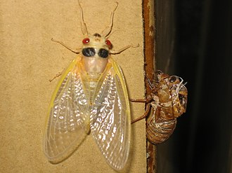 Periodical cicadas - Magicicada in final molting stage prior to hardening of exoskeleton