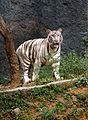 White tiger Bandhavgarh.jpg