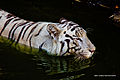 White tiger under water.jpg