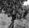 Wijnstokken van Châteauneuf-du-Pape, Bestanddeelnr 254-0256.jpg