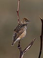 Wing-snapping cisticola, Cisticola ayresii, at Suikerbosrand Nature Reserve, Gauteng, South Africa (22618761056).jpg